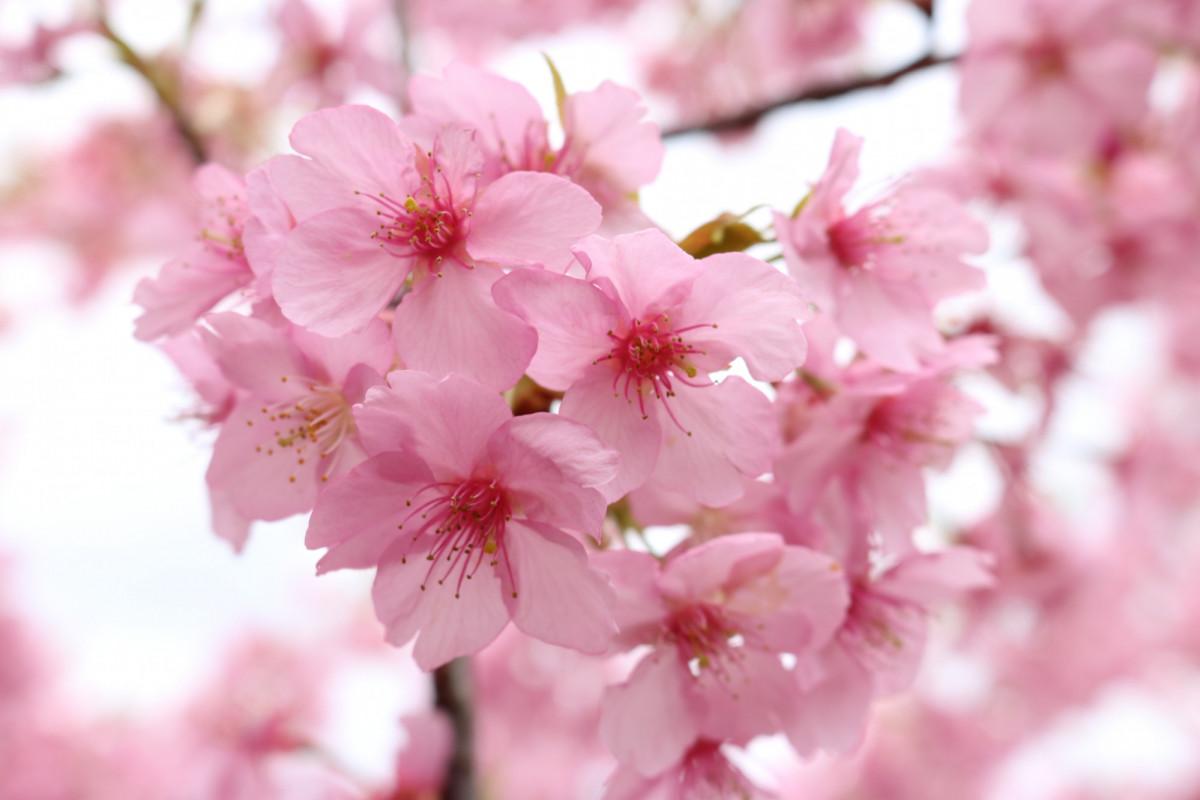 一足先にお花見‼「倉敷千本桜」の河津桜を見に行こう!!